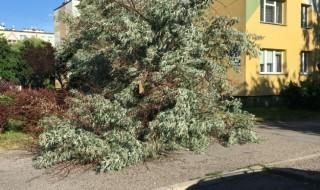 drzew2