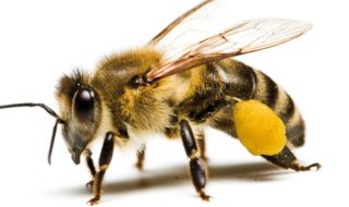 pszczola miodn2